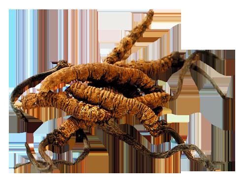 Kínai hernyógomba (cordyceps)