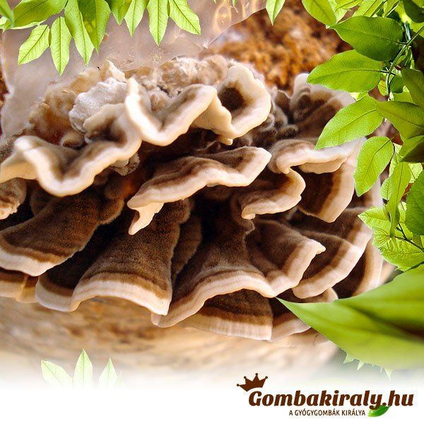 Lepketapló gomba - Turkey Tail Mushrooms - Trametes versicolor
