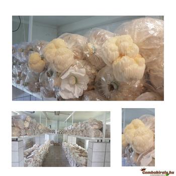 Mandulagomba és a Süngomba hatása a bélgyulladásokra